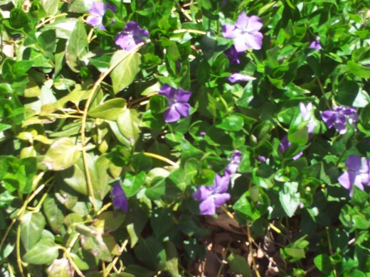 Vinca flowers blooming in late April.  Many vines loaded with vinca flowers can be found on many hillsides up in the San Bernardino Mountains.