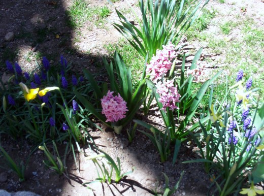 Shadows and light on the hyacinths.