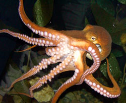 The North Pacific Giant Octopus