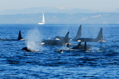 Orcas in the Puget Sound
