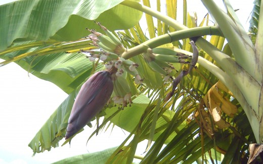 Young fruits and heart of banana (Photo by Travel Man)