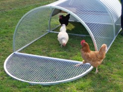 Choosing a breed of chicken for your backyard chicken coop