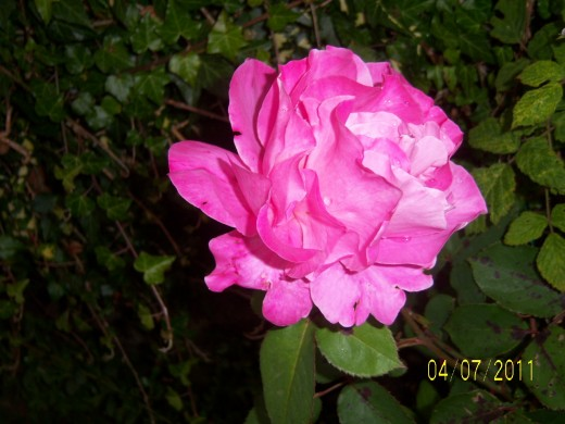 A single pink Rose in full bloom