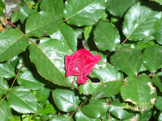A single red Rose hides in the greenery