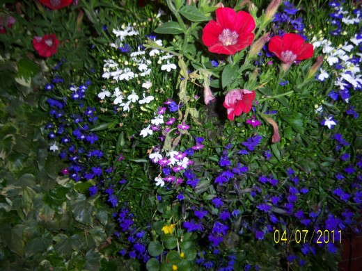 Hanging basket number 3 aubretia, lobelia, surfine and creeping jenny