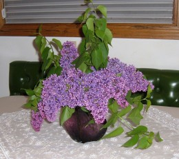 Lilacs are one of my favorite flowers because their fragrance is so intense.They only last a short time, so if you want them for an occasion, cut them just before the event.  I used a dark purple vase to intensify the color of the flowers.