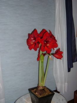 The Amaryllis provides me another reward as I keep track of how high it will grow. I ask the children in the household to guess how tall it will grow.