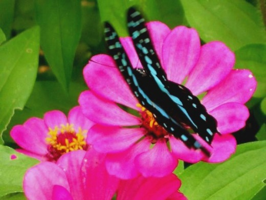Blue butterfly on hot pink zenia