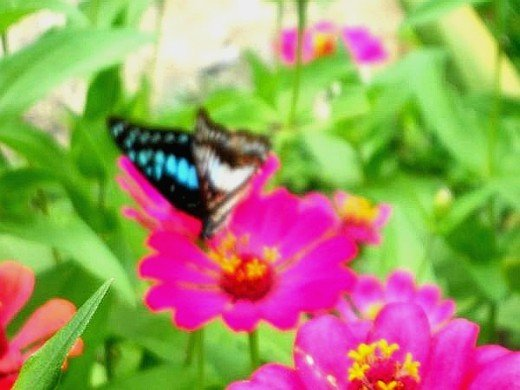 Blue on pink... Butterfly and zenia