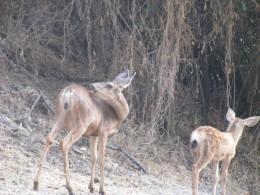 Deer on the Island