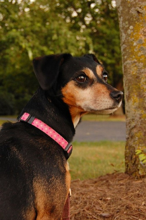 Lola with a pink dog collar