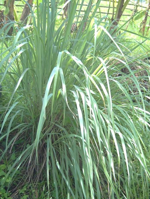 Lemon Grass (Photo by Travel Man)
