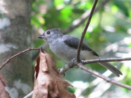 Young Tufted Titmouse