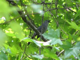 Male Gray Catbird Singing in a Sweet Gum Tree.