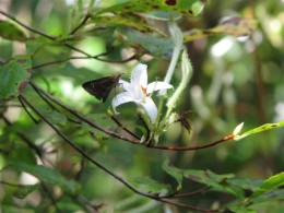 Native Swamp Azalea with Cloudywing Skipper butterfly drinking nectar.