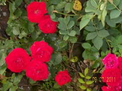 Photography - My garden July 2011, roses are red, lobelia is blue, my garden is in full bloom, just for you...a