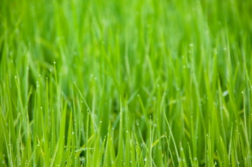 Position sod pieces as close together as possible to avoid dry patches and holes in your lawn.