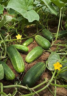 The cucumber fruit