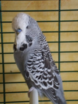 Bubble the budgie, on borrowed time.