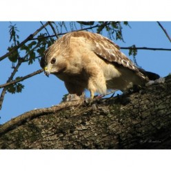 Raptors - Red Shouldered Hawks