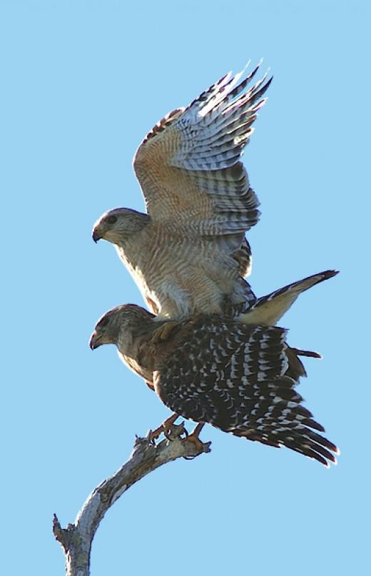 Red-shouldered Hawks mating