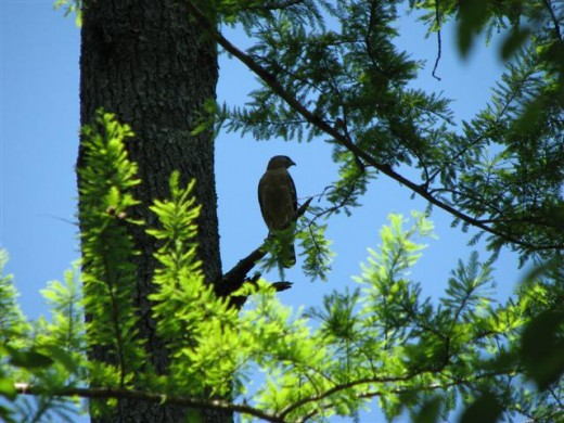 Red-shouldered hawks often perch to watch for ground prey.