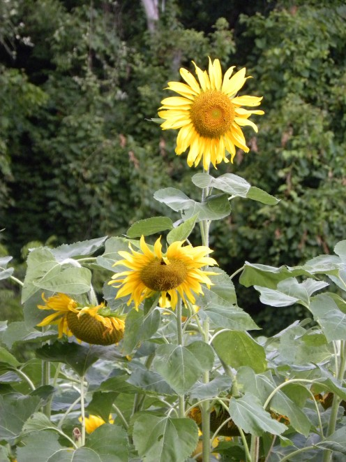 Sunflowers greet visitors at the edge of the property.