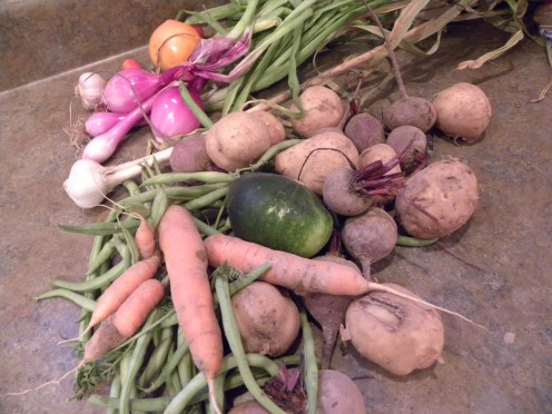 Midsummer harvest - potatoes, carrots,  onions and more!