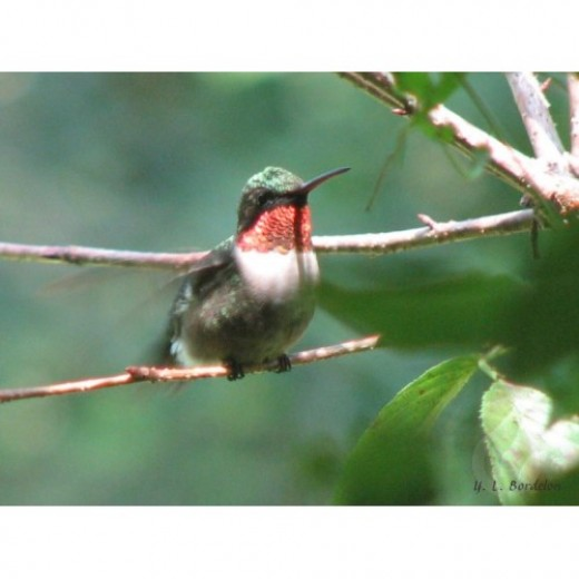 Male ruby-throated hummingbird after chase