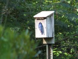 Male eastern Bluebird feeding the young.