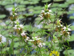 Spotted Horsemint