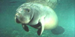 A gentle manatee.