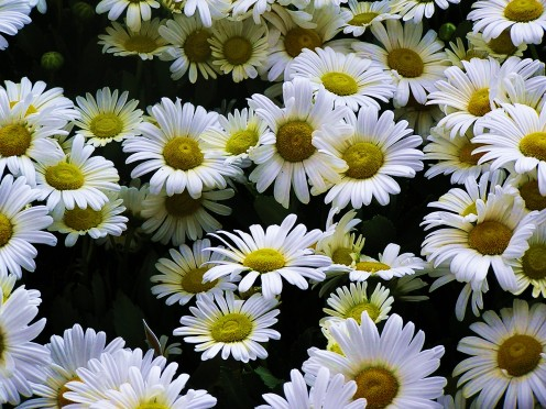Crisp, white Chrysanthemums ~ Daisy type with yellow button.