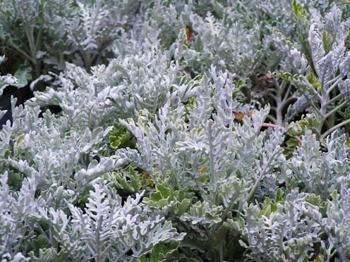 A grouping of lovely white-silver Dusty Miller.