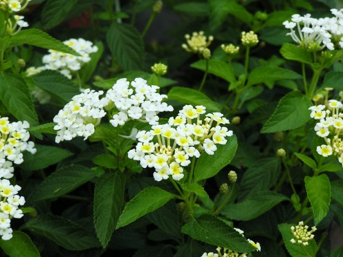 Pretty white Lantana.  Creamy Yellow throats appear as they mature.