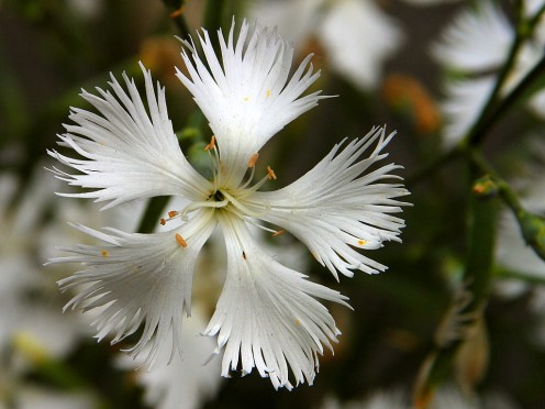 Close-up of white Dianthus.
