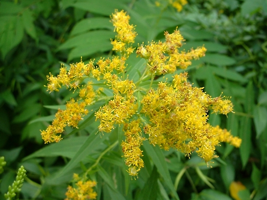 Goldenrod.  Photo by timorous