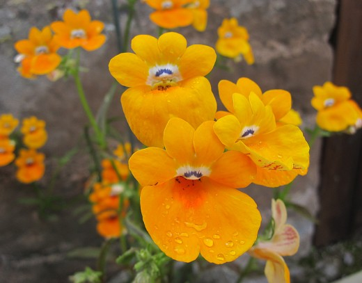 Nemesia (click to view full size)