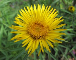 Inula Ensifolia Gold Star (click to view full size)
