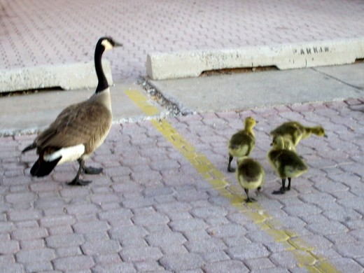 I chose  a mother goose and her babies ,because it comes natural to have offspring for them.