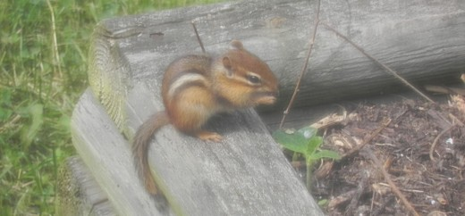 Chipmunk eating our strawberries