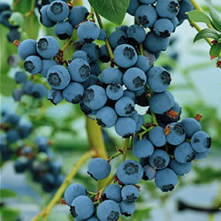 Blueberry is good for diabetes treatment
