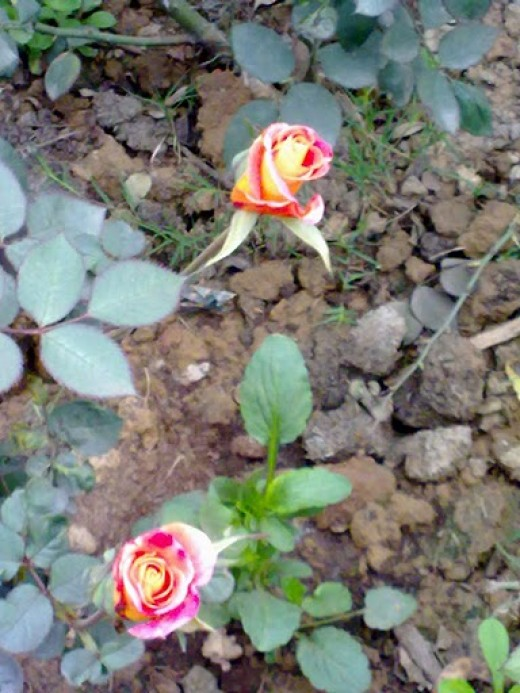 Found a bicolor rose in Garden of Five Senses Delhi