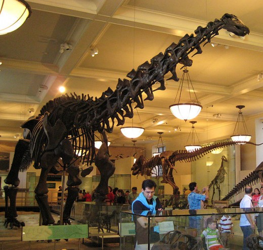 Apatosaurus Skeleton at the New York Museum of Natural History