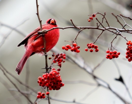 The cardinal symbolizes life-changing events and that you must take care of your health.