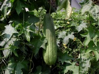 This luffa is ready to make into a bath sponge, too old to eat