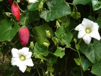 Tindoori, red and ripe with flowers