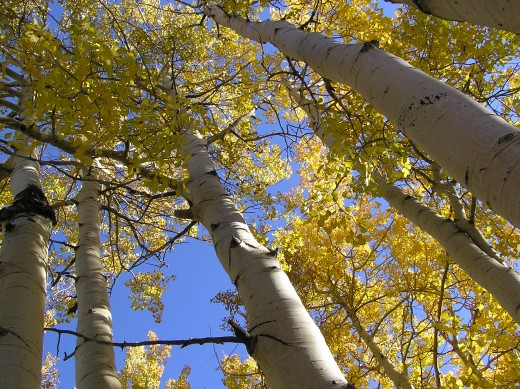 Photo of aspen trees by Scott Catron.