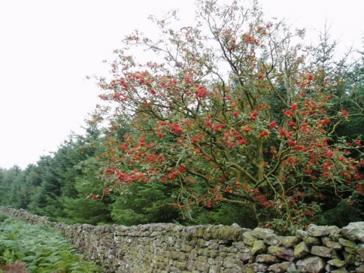 Photo of a rowan tree by Ray Woodcraft
