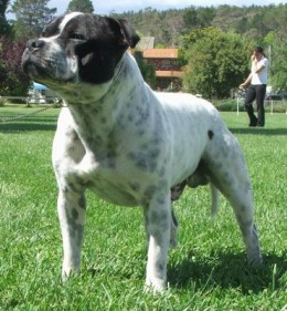 A Pit Bull (Staffordshire Bull Terrier, to be exact)